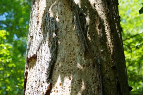 Suspected Ivorybill Scaling on Hickory