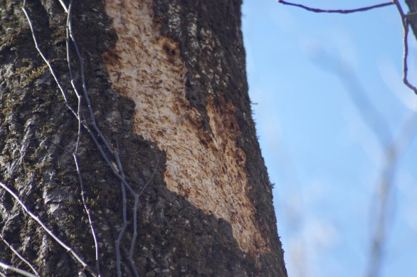 Detail of presumed Pileated Woodpecker work on hickory