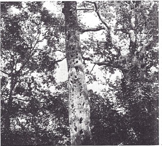 Holt:Pearson Tree