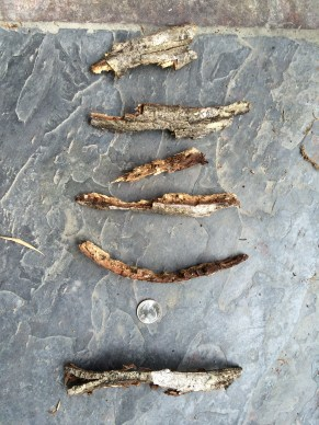 Presumed Pileated Chips - Hickory