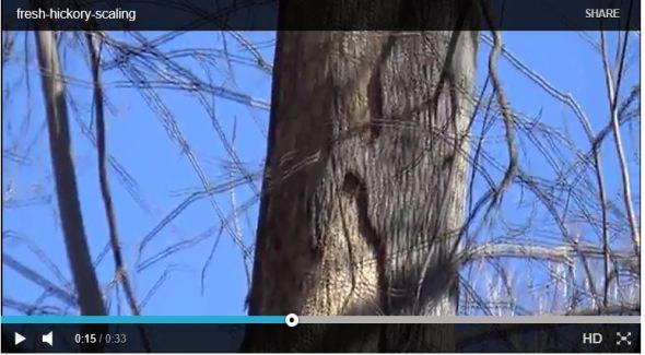 Pileated Hickory Bark Snip