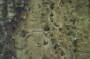 Detail of suspected Ivorybill scaling on Hickory