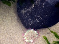 Even in cold March waters, a colorful anemone.