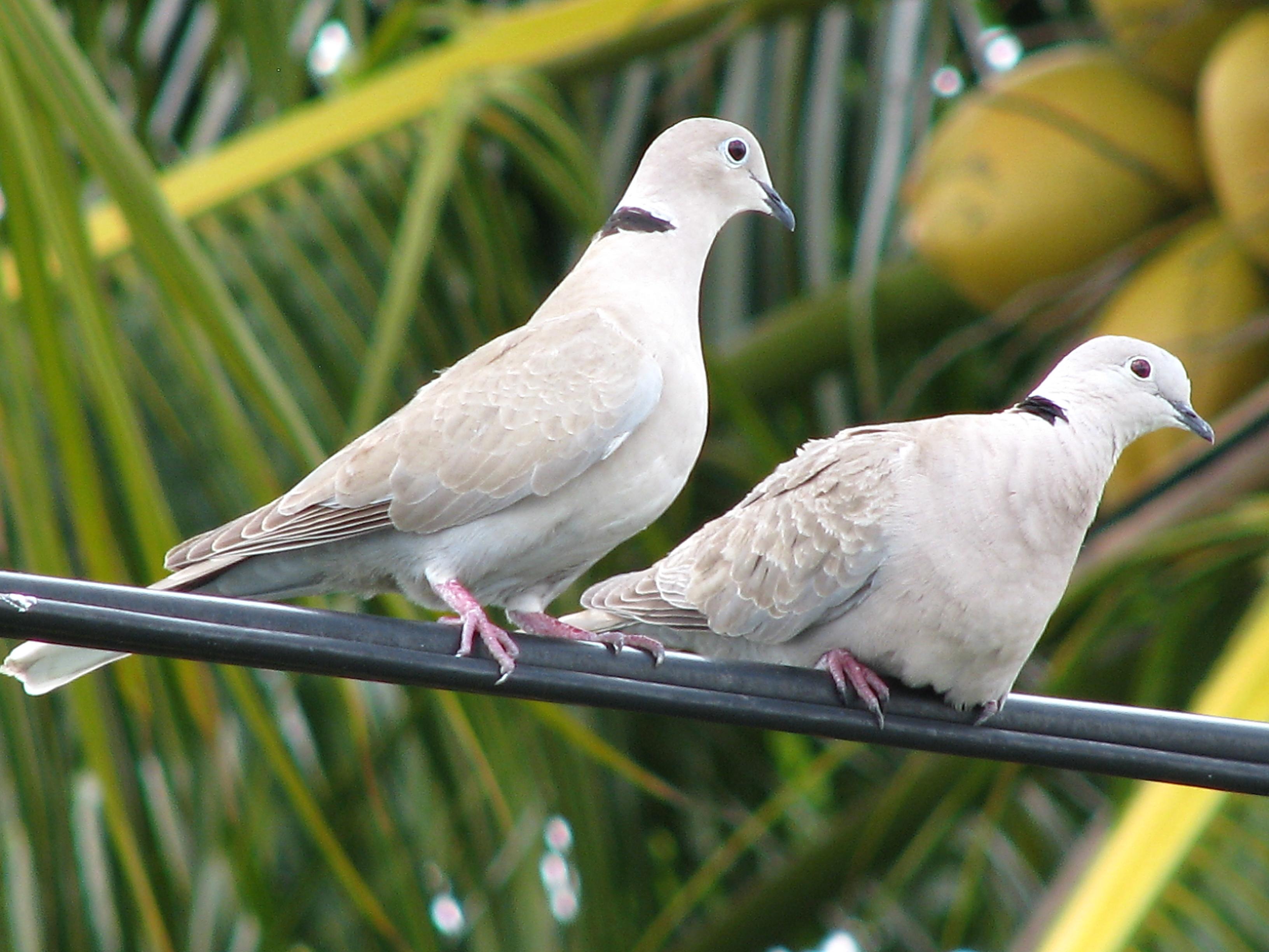 Fall Bird Feeder Wallpaper Eurasian Collared Doves Conquering America Project