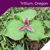 Trillium, Oregon