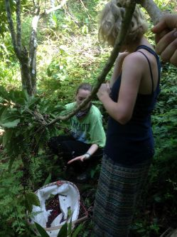 Picking coffee and getting ant bites at volunteer gig in Thailand