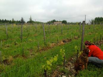 Weeding 2,500 young cabernet grapes