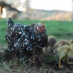 élevage poules agroforesterie