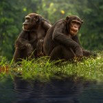 singe bonobo