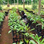 pepiniere reforestation Moabi Cameroun gabon