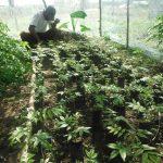 pepiniere reforestation ghana