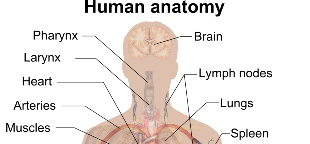 Anatomy Project Topics And Materials Pdf Doc Free Download