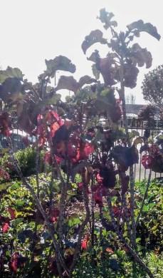 Tree Collards at Urban Adamah