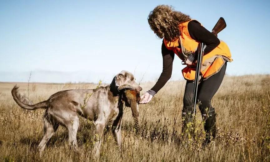 A bird dog retrieves a pheasant to a female hunter.