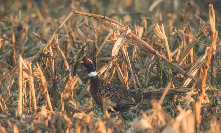 A pheasant walking and feeding in a corn field.