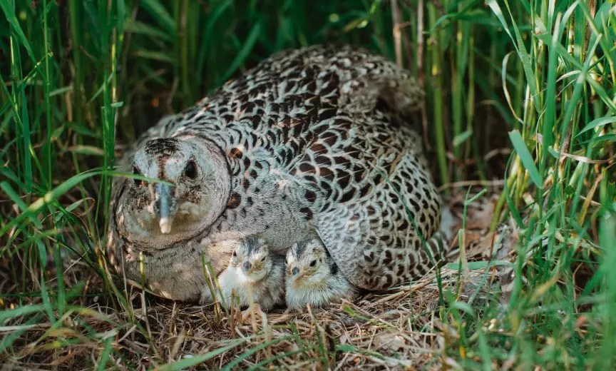 A pheasant nesting in grass with chicks.