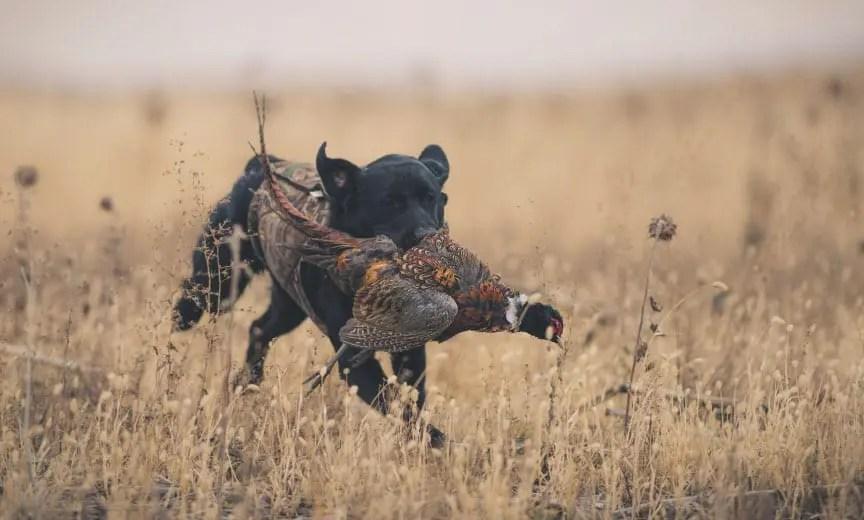 A hunting dog retrieves a pheasant.
