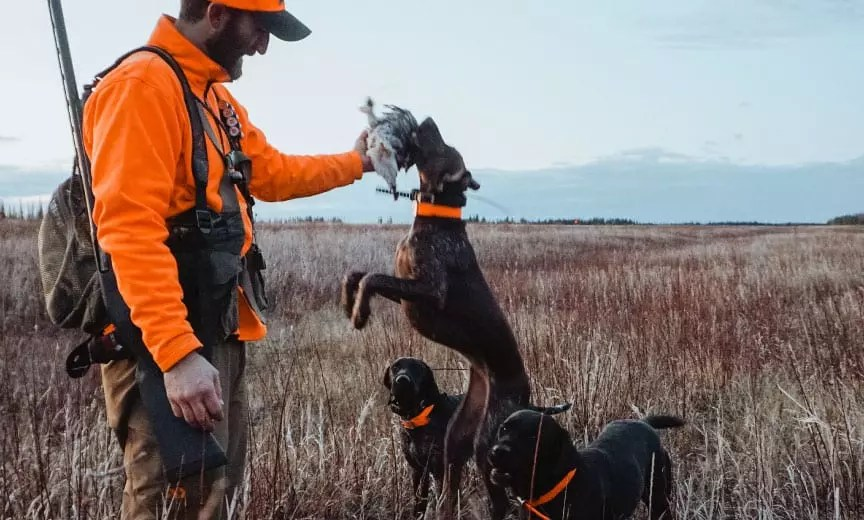 A group of bird dogs with a sharp-tailed grouse in Alaska.