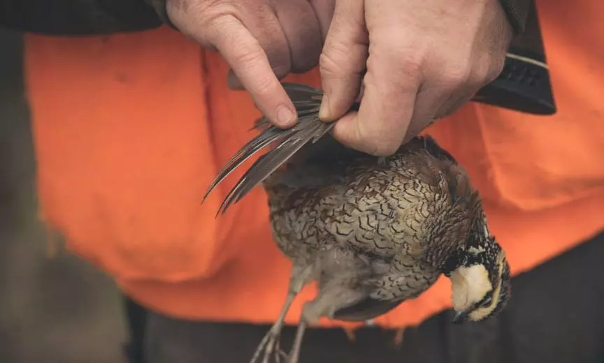 A biologist ages a bobwhite quail