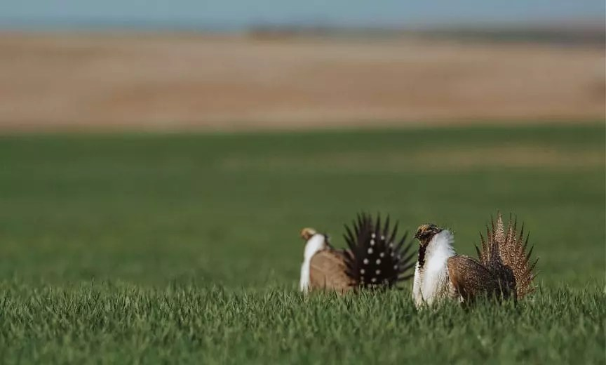 Sage grouse displaying on a lek