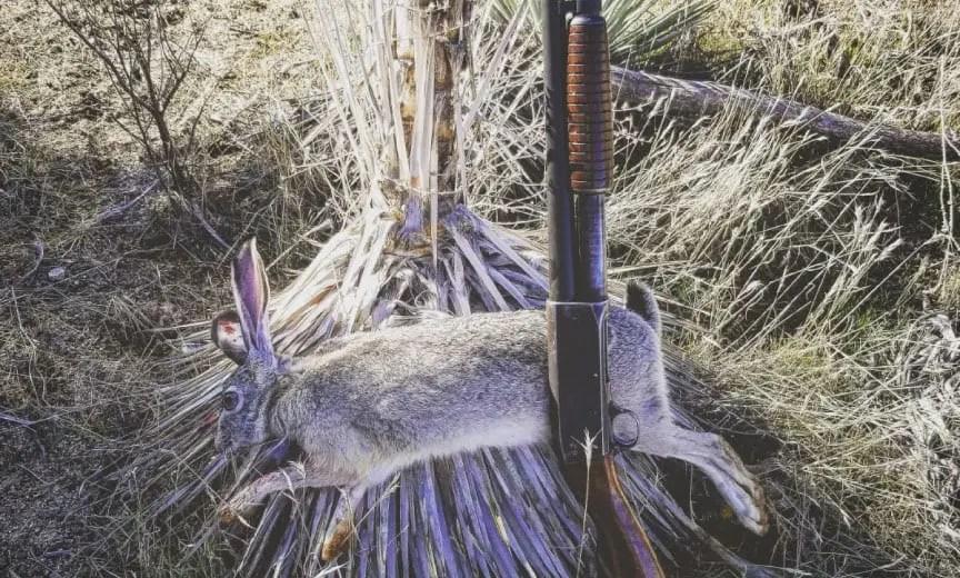 Jack rabbit hunting in California