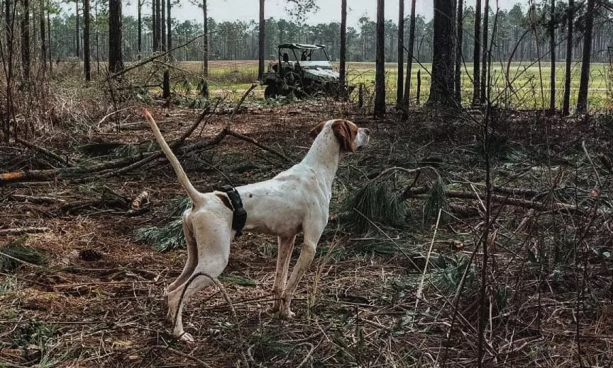 Training a pointer for the American Field.