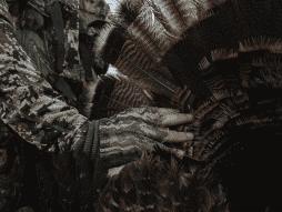 A turkey hunter holds open a turkey fan from a wild turkey