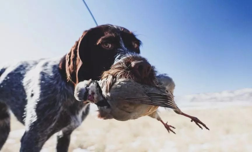 A bird dog retrieves a chukar partridge