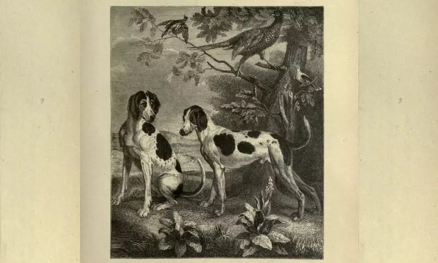 1700 A.D. drawing of Foxhound and Pointer Cross in France.