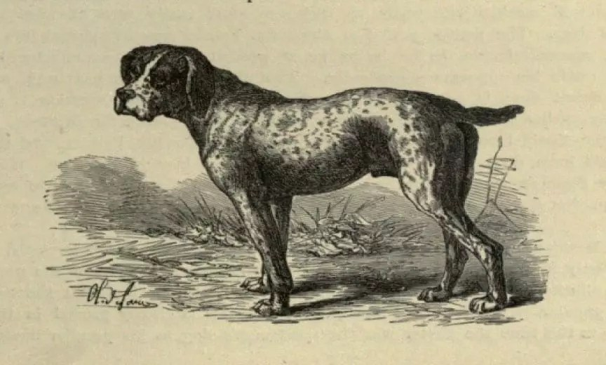 An ancient image of a Spanish pointer