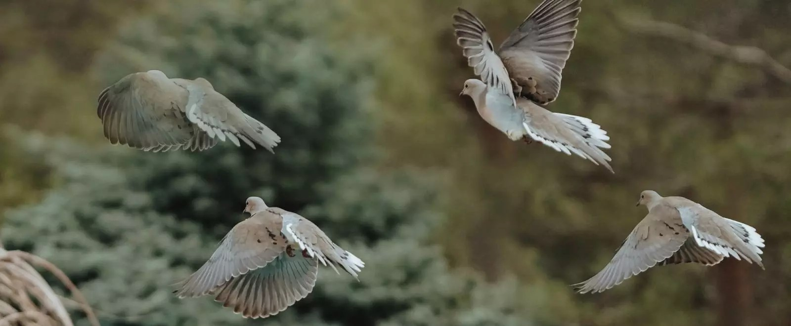 A flock of doves flying by