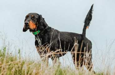 A gordon setter on point in Scotland