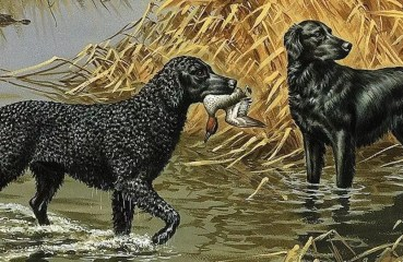 A curly-coated and flat-coated retriever hunt ducks in a marsh