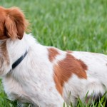 An orange and white Brittany stands in a green field