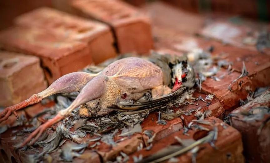 A partially plucked chukar bird on a stack of bricks