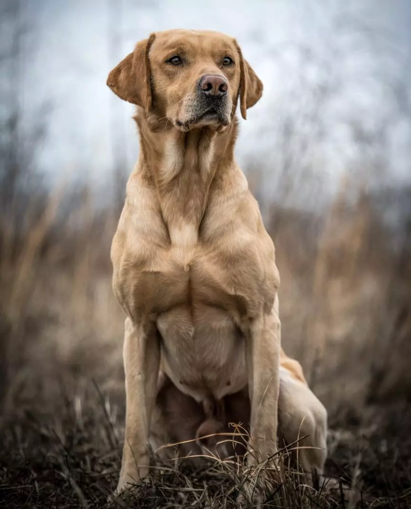A yellow labrador sits in a field while hunting