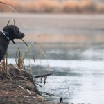 A black lab sits by a pond ready to duck hunt