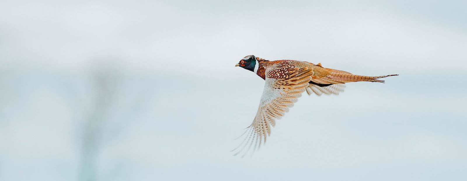 A rooster pheasant flies against a gray winter sky