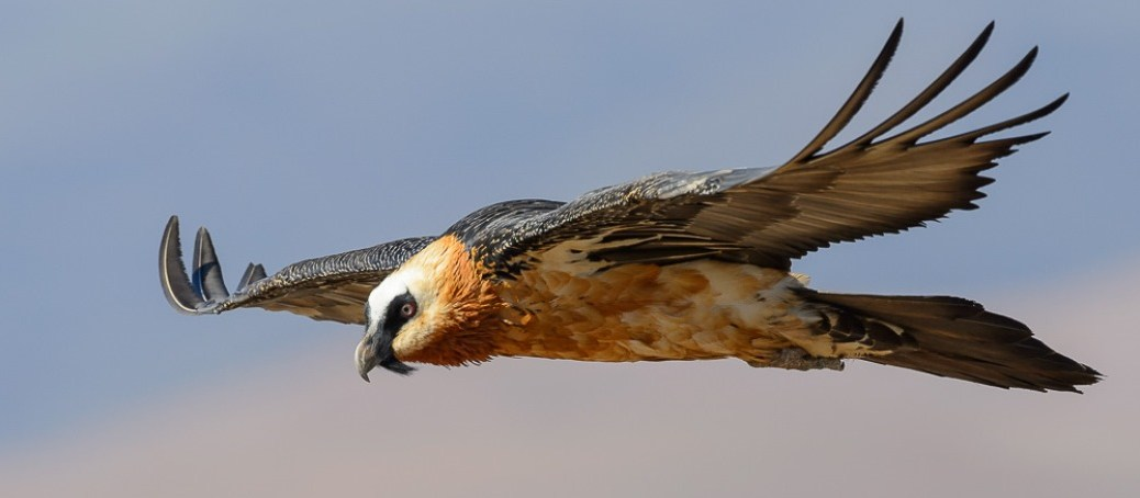 Bearded Vulture Flying