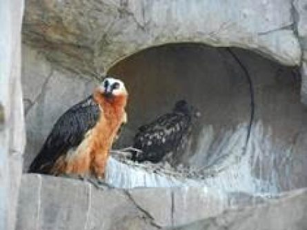 Captive Bearded Vultures
