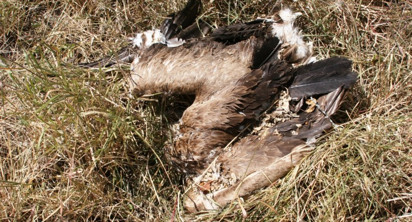 Vulture Killed by Poisoning