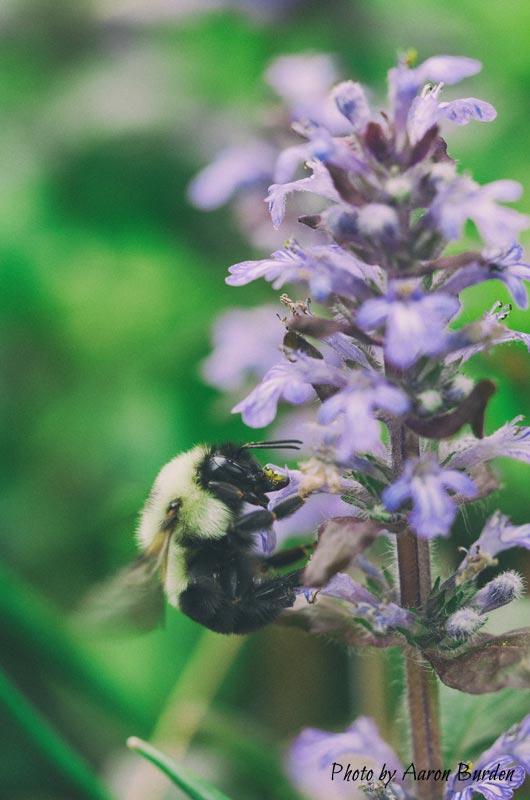 abeille-plante-ecologie-pollen