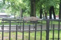 un écureuil fait la sieste dans un parc de Brooklyn