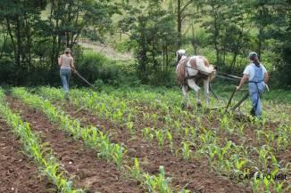 Sarclage du mais et du sorgho avec le cheval et désherbage entre les plantes avec la binette
