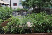 Tomates sur la terrasse du restaurant