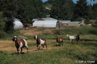 Les chèvres dans leur champs