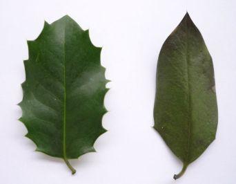 Figure 1: Deux feuilles de I. aquifolium, prises à différentes hauteurs sur le même individu. Notez comment les feuilles peuvent varier au sein d'un même individu. Photo: Phrontis