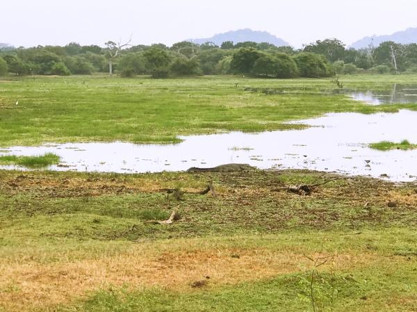 Crocodilo no Yala National Park