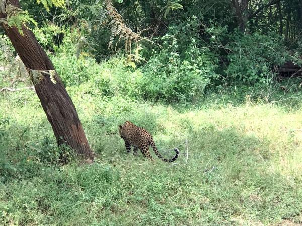 Leopardo no Yala National Park