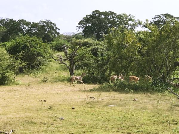 Veados no Yala National Park
